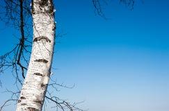 Enkla björkträd och filialer på klar blå himmel Arkivbild