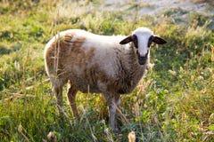 Enkla får som ser kameran i grönt fält arkivfoto