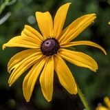 Enkla guld- Coneflower royaltyfria foton