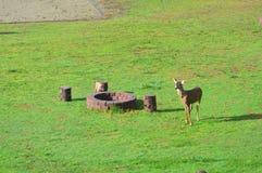 Enkla hjortar Fotografering för Bildbyråer