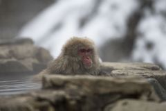 Enkla japanska macaque- eller snöapor, Macacafuscataen som lutar på, vaggar av den varma våren, visning för röd framsida och att  royaltyfri bild