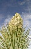 Enkla Joshua Tree blomma och ryggar Royaltyfria Foton