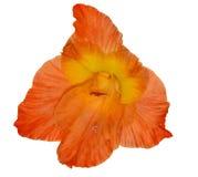 Enkla ljusa orange gladiolöss blommar isolerat på vit Royaltyfri Foto