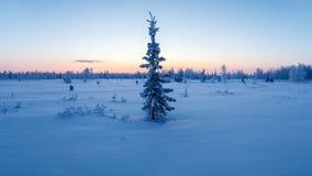 Enkla nya år granträd i snövinterskogen i blåa signaler Royaltyfri Foto