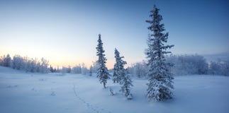 Enkla nya år granträd i snövinterskogen i blått tonar panorama Arkivbilder