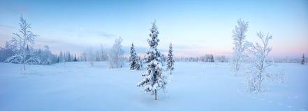 Enkla nya år granträd i snövinterskogen i blått tonar panorama Arkivfoto