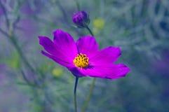 Enkla purpurfärgade kosmos blommar på en härlig bakgrund Blommalilor som utomhus skuggas Selektivt fokusera Royaltyfri Bild