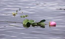 Enkla Rose Floating i vatten Royaltyfri Bild