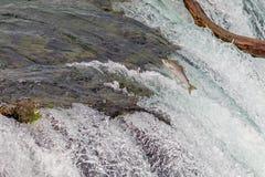 Enkla Salmon Jumping Over bäcknedgångarna på den Katmai nationalparken, Alaska arkivbild