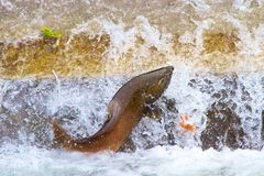Enkla Salmon Jumping på fisksistnämndhatcheryen Royaltyfria Bilder