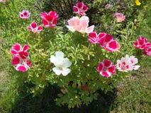Enkla trädgårdblommor royaltyfri bild