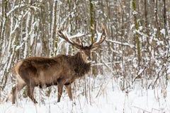 Enkla vuxna nobla hjortar med stora härliga horn med landskap för djurliv för insnöad vinterskog europeiskt med snö och hjortar m Arkivfoton