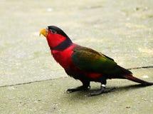 Enkorkad lory på att gå runt om hans hus Tricolour papegojaanseende på golvet och vänta på något royaltyfria foton