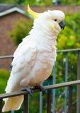 Enkrönad kakadua (cacatuagaleritaen) Royaltyfri Fotografi