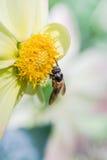 Enlace de la dalia y de abejas Imagen de archivo libre de regalías