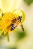 Enlace entre la dalia y las abejas Imagen de archivo