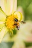Enlace entre la dalia y las abejas Fotos de archivo libres de regalías