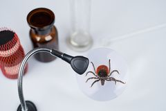 Deer tick in laboratory under magnifier. Ixodes ricinus stock image