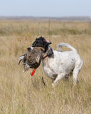 Enlgish Setter with Sharptailed Grouse Royalty Free Stock Image