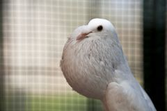 Enlish Pouter Pigeon Royalty Free Stock Image