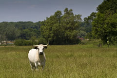 Enlish White Park Cow Royalty Free Stock Photos