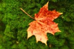enmascarado El amarillo rojizo de la hoja de arce miente en el musgo verde del tronco de árbol Las fotos fueron tomadas en la len foto de archivo libre de regalías