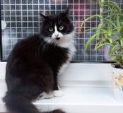 Ennegrézcase con el gato mullido blanco en un alféizar Foto de archivo