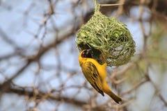 Ennegrezca al tejedor enmascarado - fondo salvaje africano del pájaro - que cuelga alrededor a casa Fotografía de archivo libre de regalías