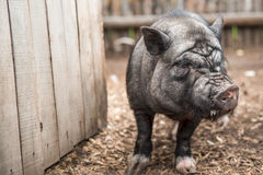 Ennegrezca el cerdo Foto de archivo