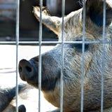 Ennegrezca el cerdo foto de archivo libre de regalías