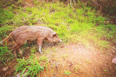 Ennegrezca el cerdo Fotos de archivo libres de regalías