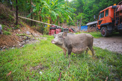 Ennegrezca el cerdo Imagen de archivo libre de regalías