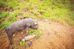 Ennegrezca el cerdo Fotos de archivo