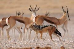 Ennegrezca el chacal apoyado en el ront de la manada del springbock, nationalpark del etosha, Namibia Fotos de archivo libres de regalías