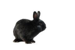 Ennegrezca el conejo aislado en el fondo blanco Imagen de archivo libre de regalías