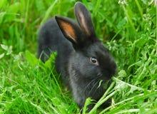 Ennegrezca el conejo en hierba verde Imágenes de archivo libres de regalías