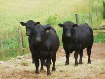 Ennegrezca el ganado de Angus Imagen de archivo libre de regalías