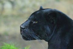 Ennegrezca el jaguar Fotografía de archivo libre de regalías