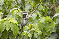 Ennegrezca el mono de vervet hecho frente en el árbol frondoso, Uganda Fotografía de archivo