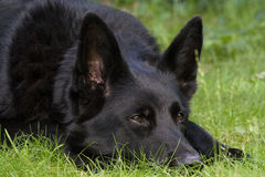 Ennegrezca el perro de pastor alemán Fotografía de archivo libre de regalías