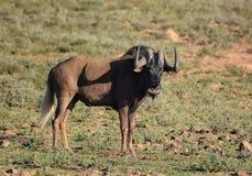 Ennegrezca el Wildebeest Imagen de archivo