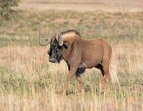 Ennegrezca el Wildebeest Fotos de archivo libres de regalías