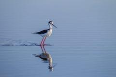 Ennegrezca el zanco con alas en los colores de la cría que parecen correctos Fotografía de archivo libre de regalías