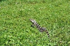 Ennegrezca la iguana espinoso-atada en un prado en el parque nacional de Carara foto de archivo