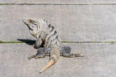 Ennegrezca la iguana espinoso-atada, la iguana negra, o el ctenosaur negro Similis de Ctenosaura Maya de Riviera, Cancun, México fotos de archivo libres de regalías