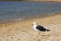 Ennegrezca la mirada cargada en cuenta de la gaviota en el mar en la playa Imágenes de archivo libres de regalías