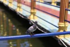 Ennegrezca la paloma Fotos de archivo libres de regalías