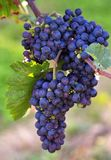 Ennegrezca las uvas Foto de archivo libre de regalías
