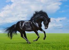 Ennegrezca los galopes del caballo en campo verde Imagenes de archivo