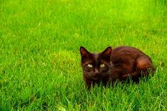 Ennegrézcase con el gato de los ojos verdes en la hierba verde Fotografía de archivo